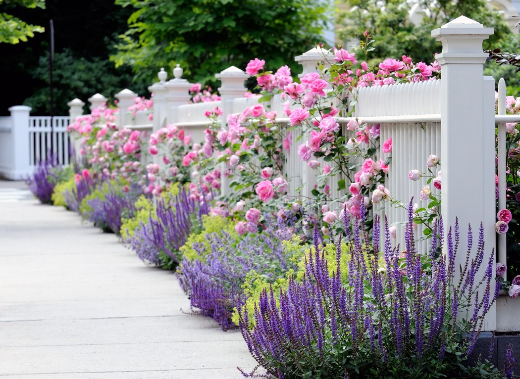 White Fence With Lavender And Pink Roses